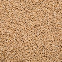 wheat background, perspective view from above